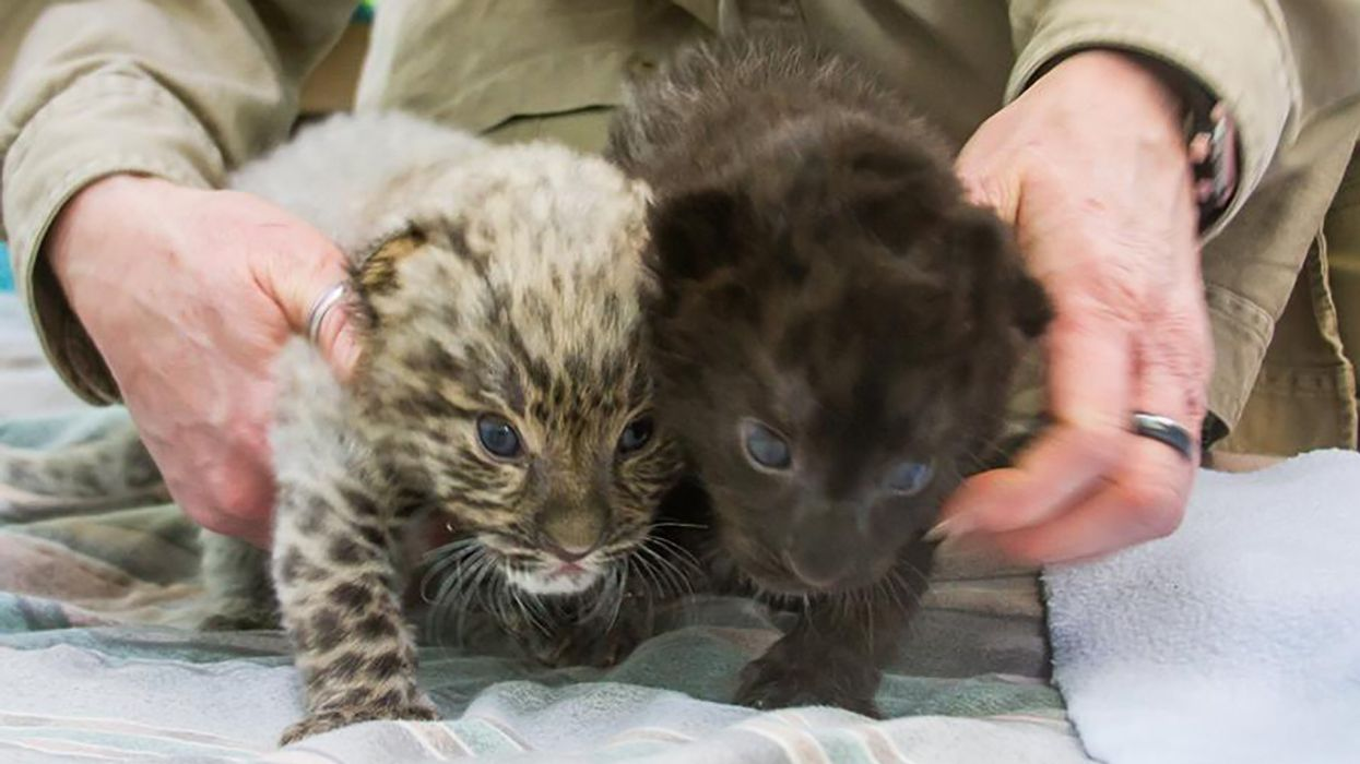 Extremely Rare Leopard Cubs Born in Connecticut Zoo