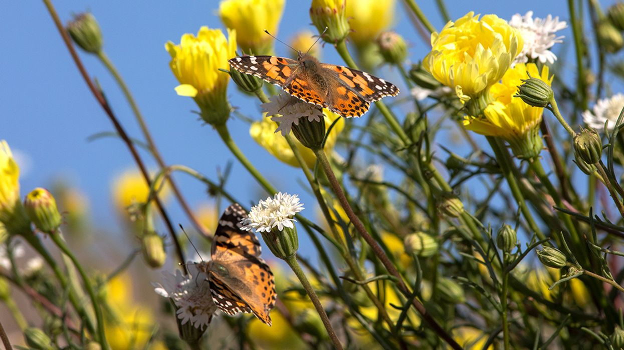 'Absolutely Magical': Southern California Sees Largest Painted Lady Migration Since 2005