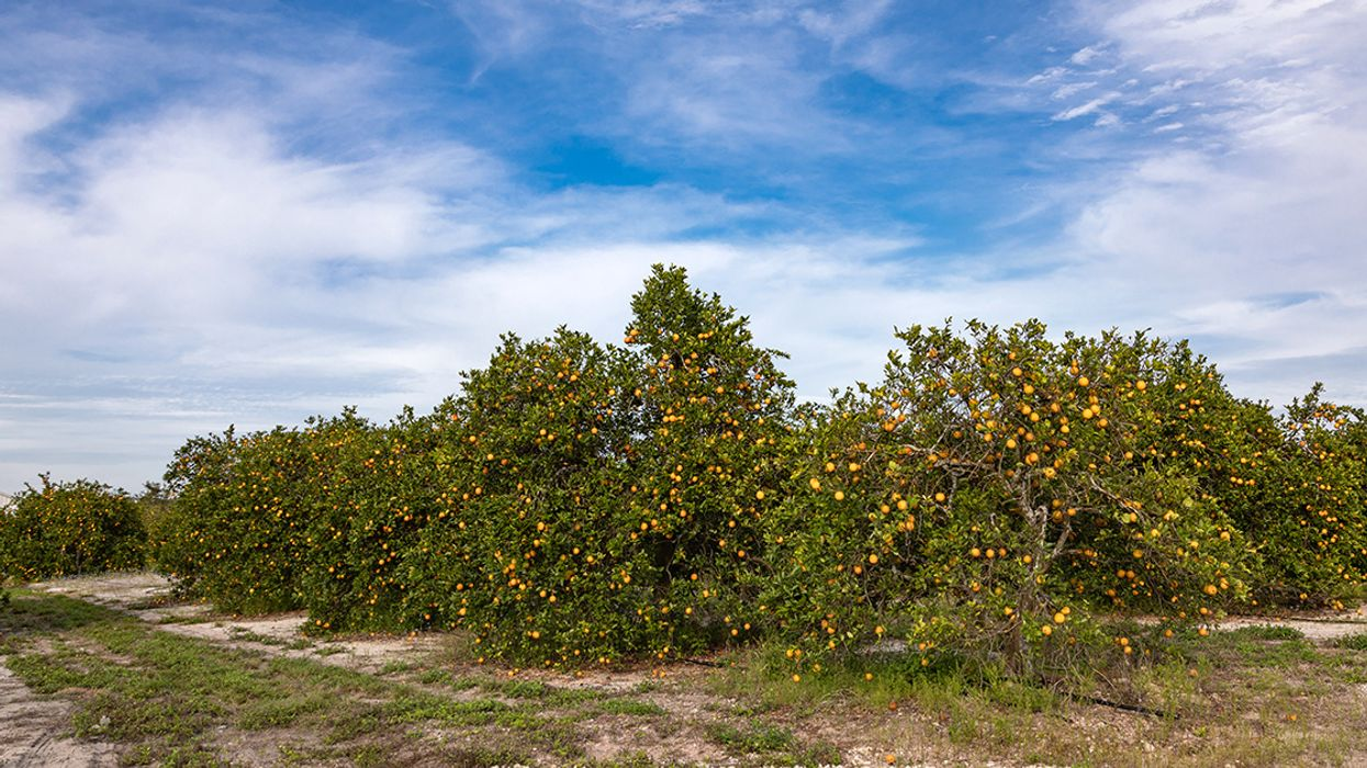 EPA Proposes Use of 650,000 Pounds of Antibiotics Per Year on Citrus Fields