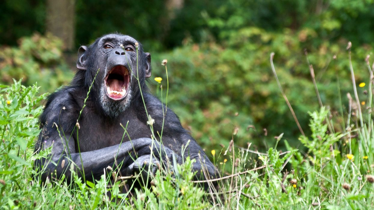 Human encroachment is obliterating chimpanzee culture