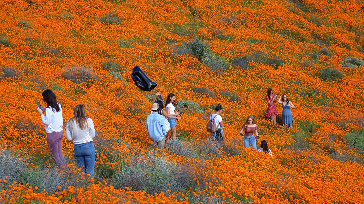 California Superbloom Is One Town's #PoppyNightmare