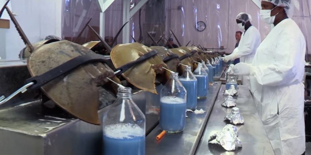 Horseshoe crabs are drained for their blue blood. That practice will soon be over.