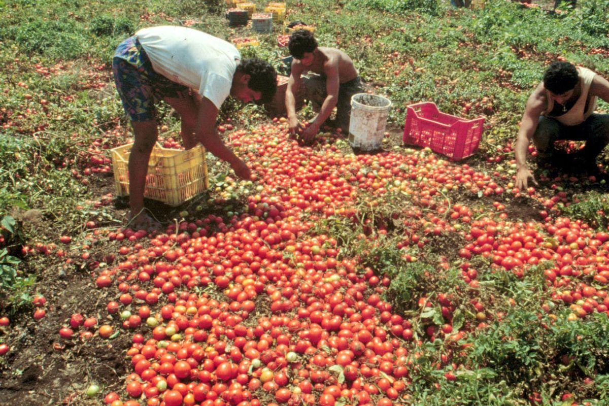 Vite finite all'asta come i pomodori, sistema coop sotto accusa