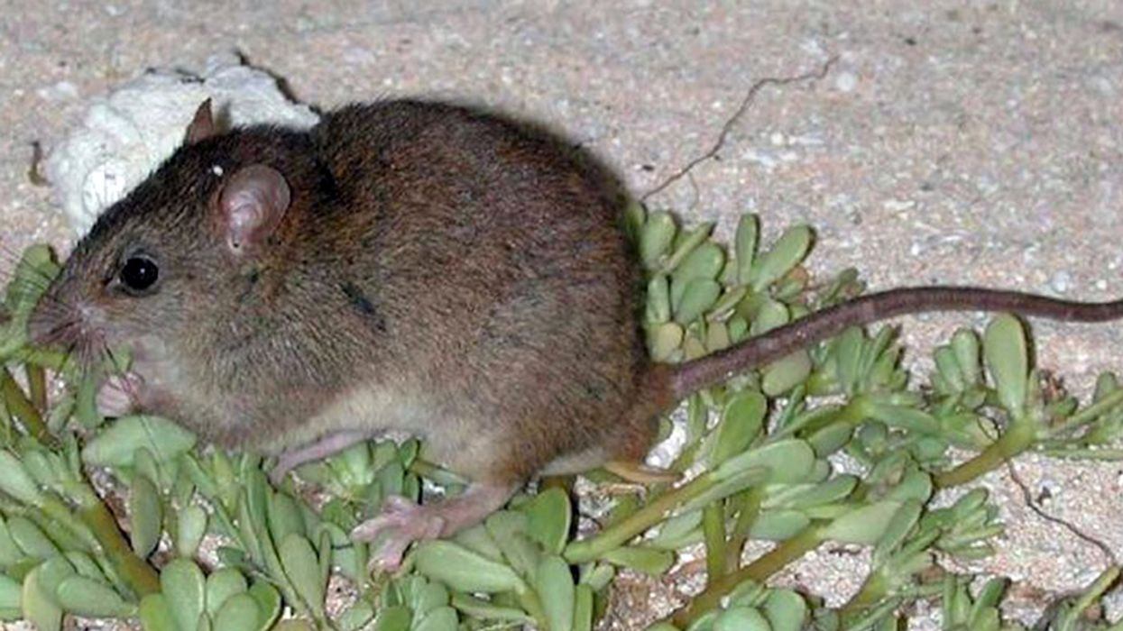 First Mammal Driven to Extinction by Human-Caused Climate Change Is Australian Rodent