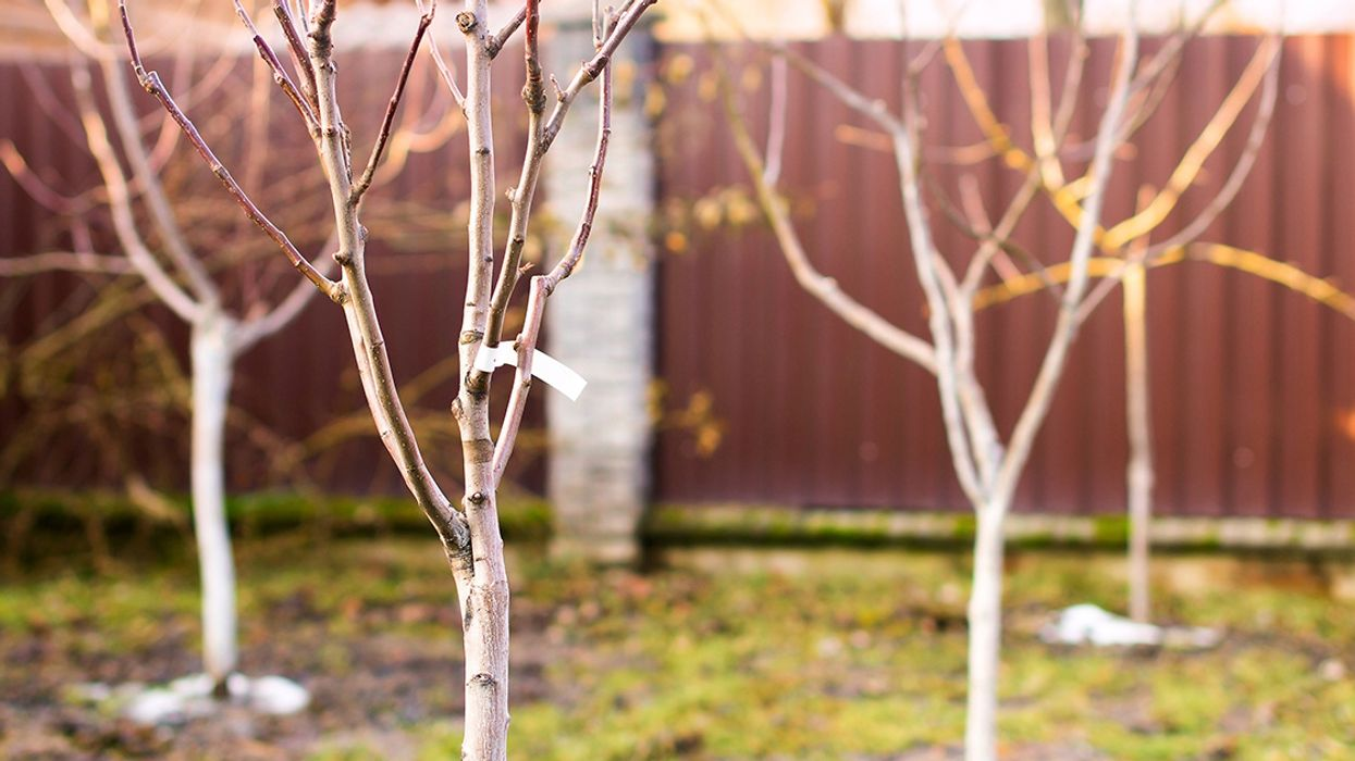 Bare-Root Fruit Trees: 5 Reasons You Should Order Them This Winter