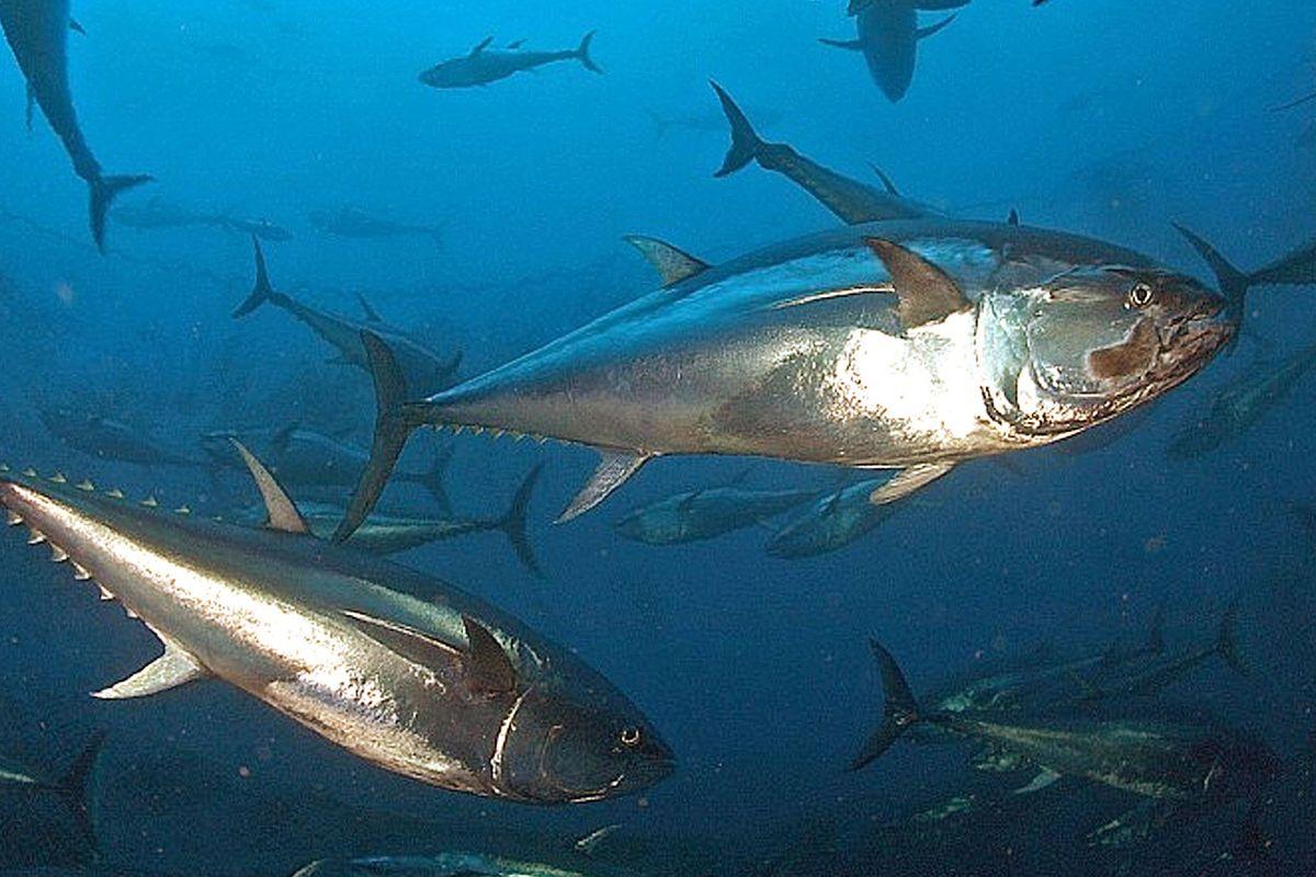 Tra Palermo e Roma si riapre la guerra del tonno rosso