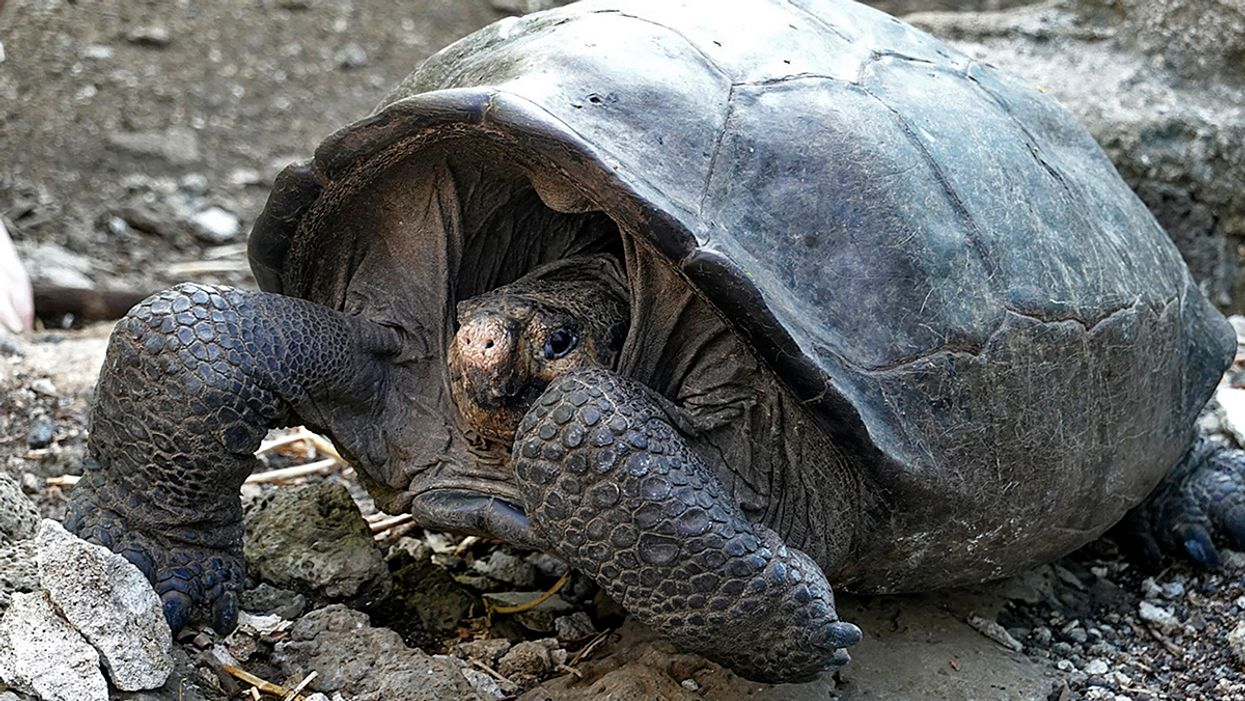 Giant Tortoise Believed Extinct Sighted in Galápagos