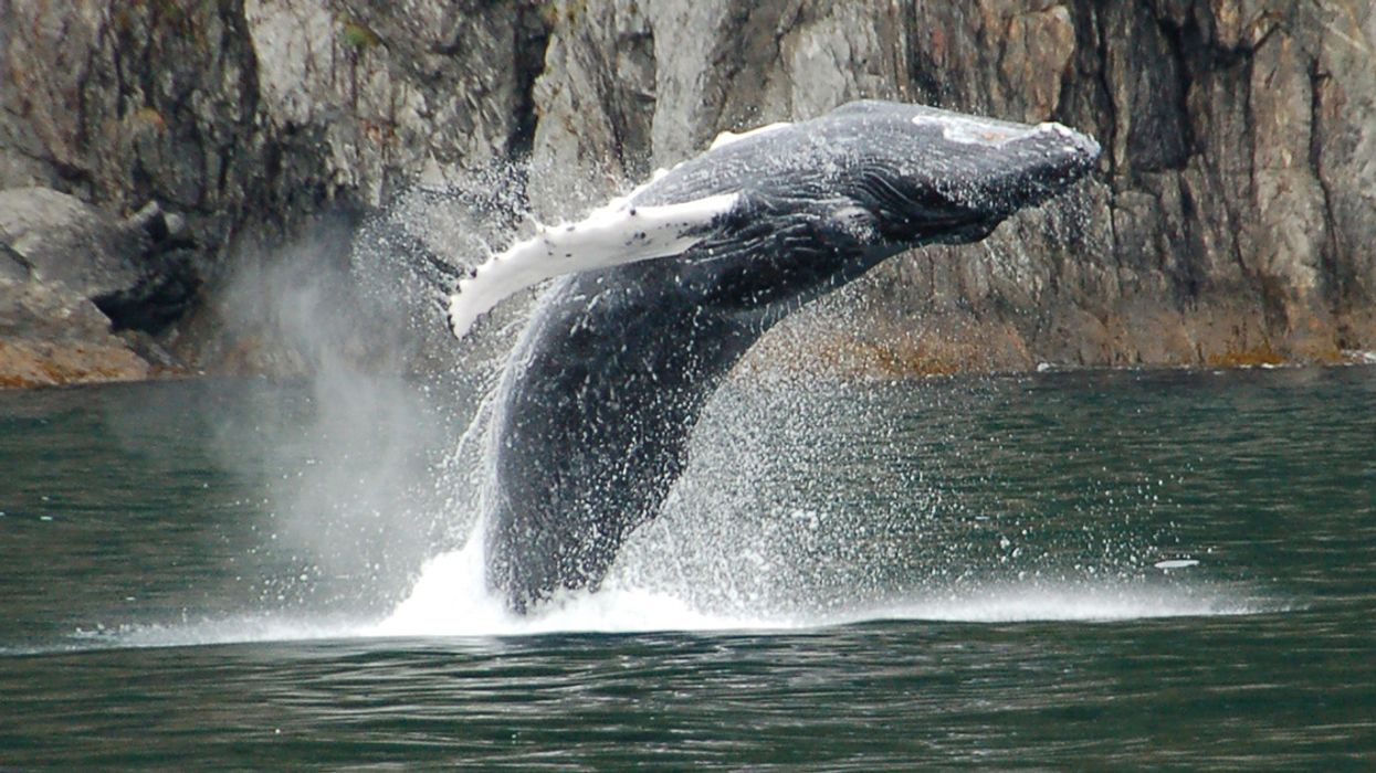 Humpback Whales Winter in Antarctica, So Why Did One Wash Up Dead in Brazil?