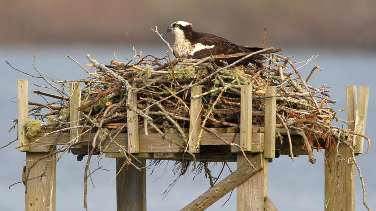 Ospreys' Recovery From Pollution and Shooting Is a Global Conservation Success Story