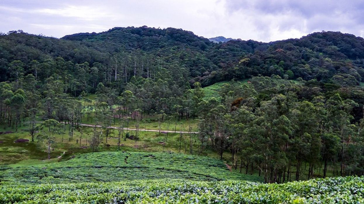 Abandoned Plantations Within Forests May Never Fully Recover