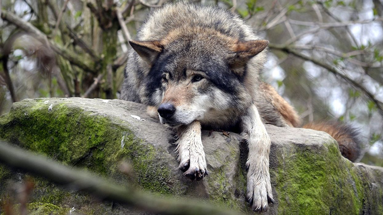 Wolves 'Established' in Netherlands for First Time in 140 Years