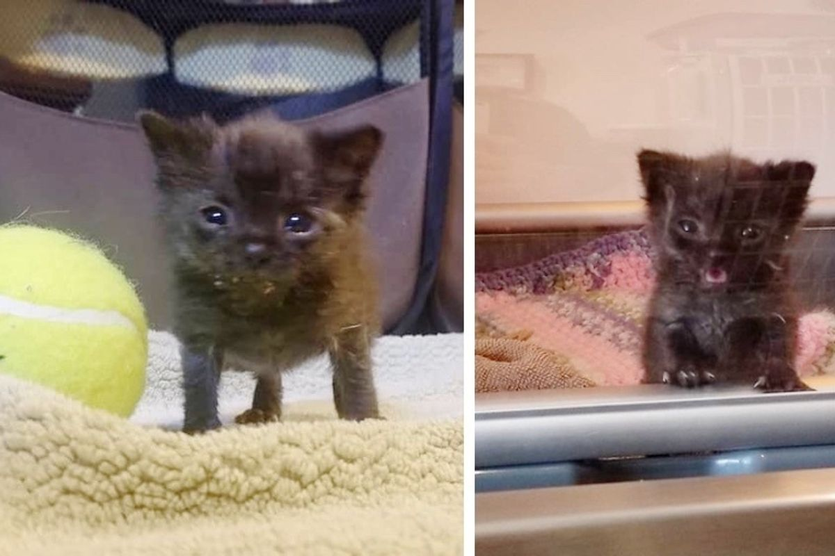 Rescued Kitten, Size of Tennis Ball, Has a Big Meow and is Determined to Grow