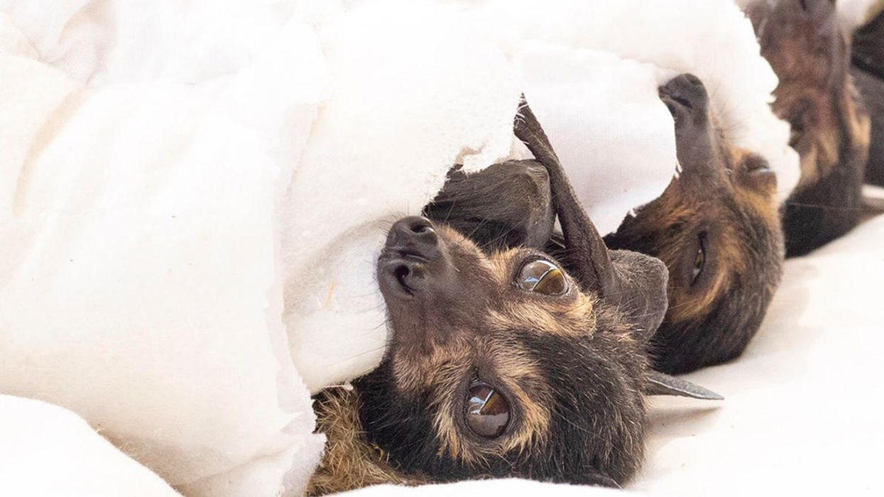 A Heat Wave in Australia Killed 23,000 Spectacled Flying Foxes
