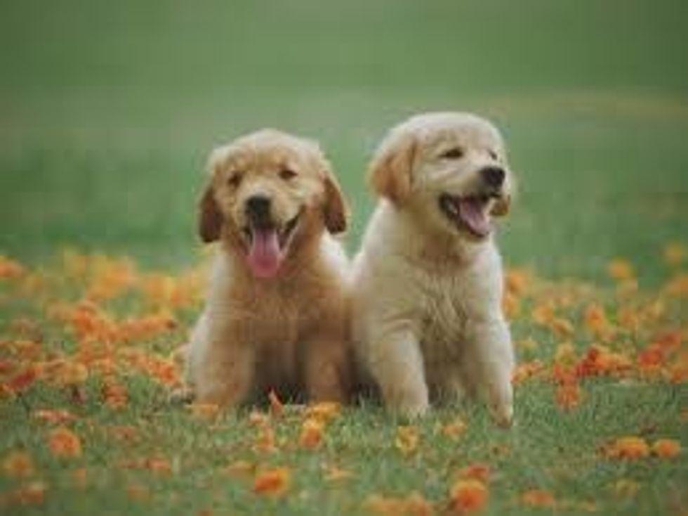 https://www.pexels.com/photo/two-yellow-labrador-retriever-puppies-1108099/