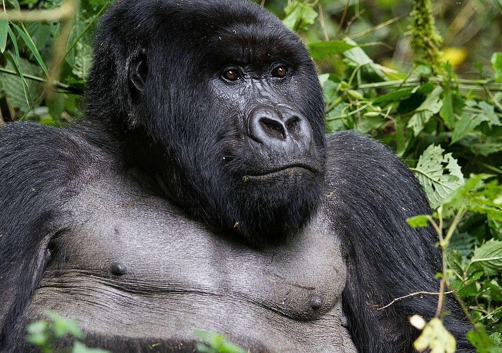 Mountain gorillas were just taken off the 'critically endangered' species list.