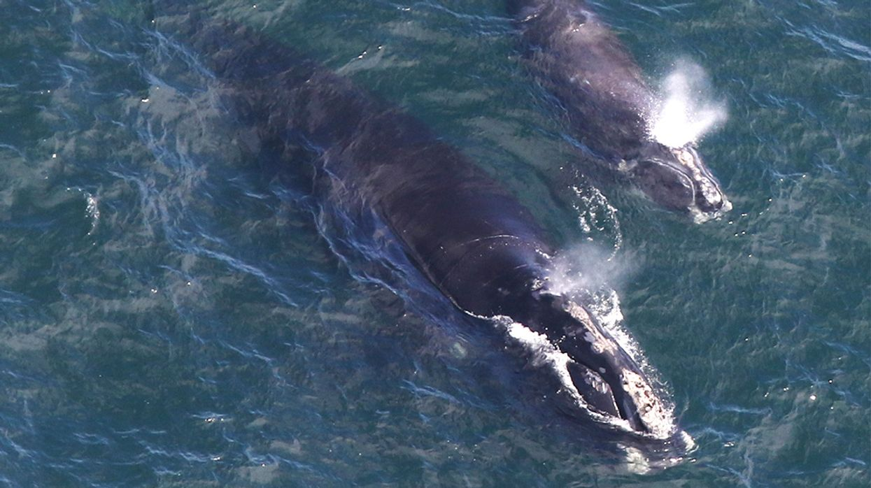 One of the World's Most Endangered Whales Is Experiencing a Mini Baby Boom