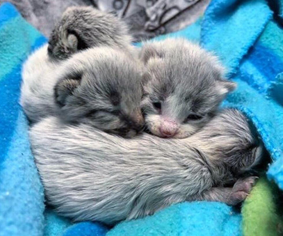 Rescued Kittens Born With Silver Gray Coat Grow Up To Be Beautiful Tabbies Love Meow