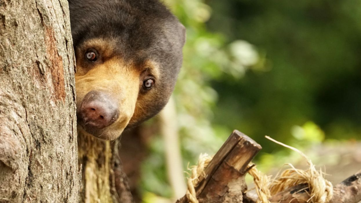 New study: Like humans, world's smallest bears can mimic faces too