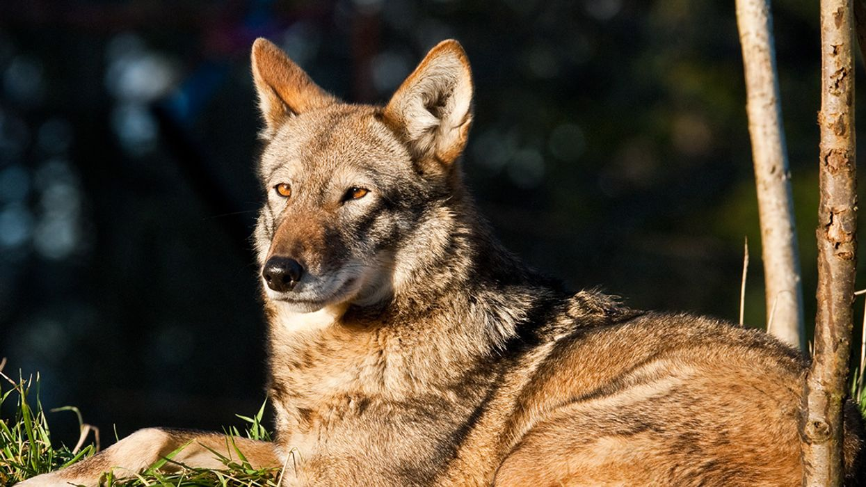 Government Study Confirms Endangered Red Wolves Are a Separate Species Worthy of Protection