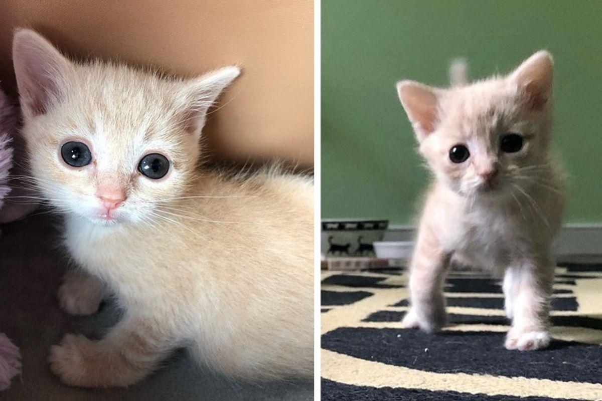 Kitten with Crooked Legs, Half the Size of Other Kittens, Finds Someone to Help Her Walk and Grow