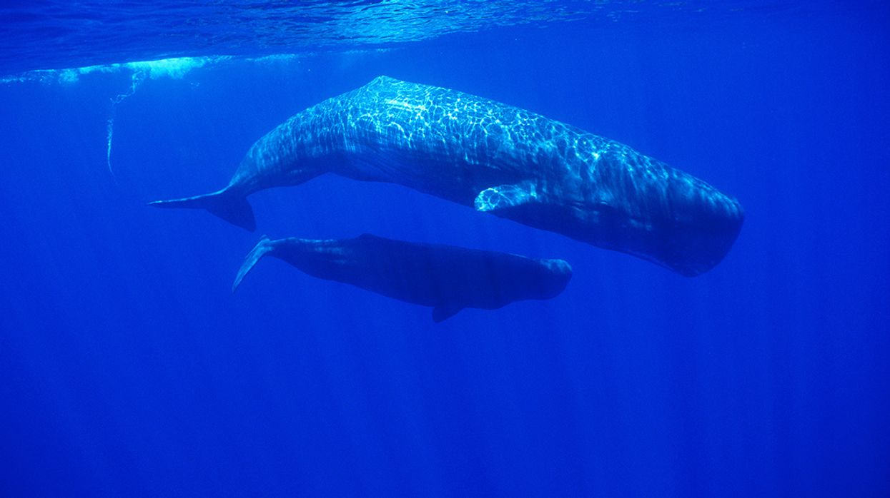 Pregnant Sperm Whale Found Dead With Nearly 50 Pounds of Plastic in Her Stomach