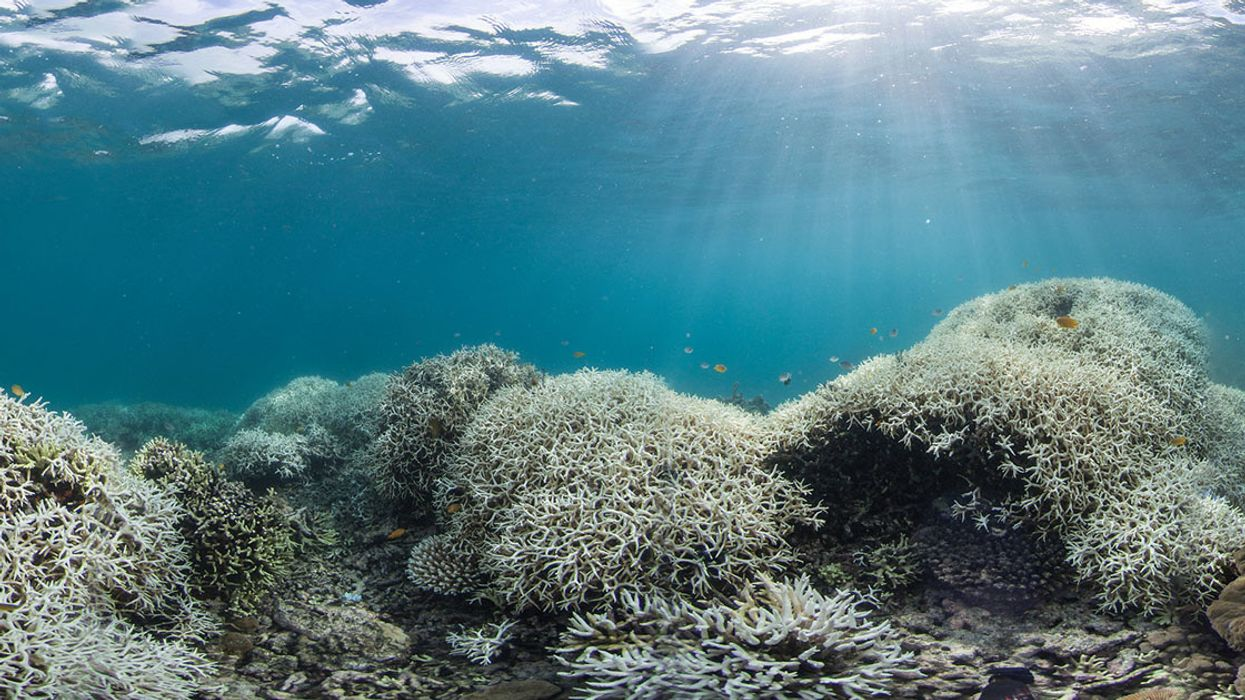 'Dead Corals Don't Make Babies': New Great Barrier Reef Coral Growth Declined 89% After Back-to-Back Bleaching Events