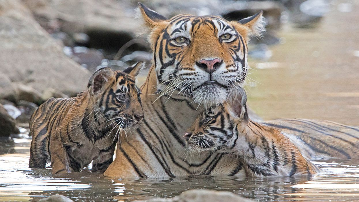 Climate Change May Wipe Out Bengal Tigers, UN Analysis Finds
