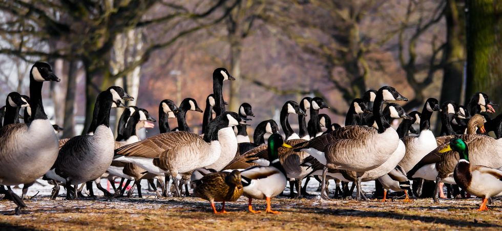 The Busch Geese At Rutgers University Are Invaluable, Change My Mind