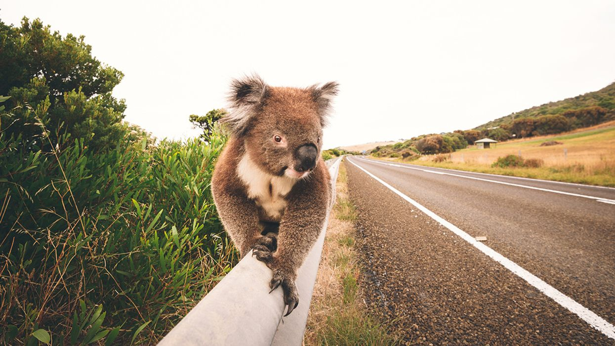 Koalas Become 'Functionally Extinct' in Australia With Just 80,000 Left