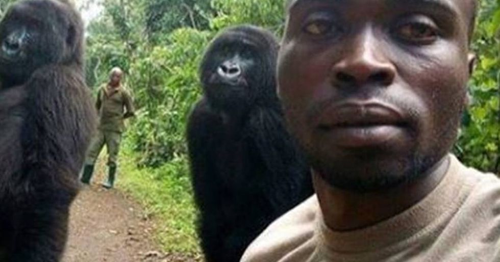 Why are the gorillas in this super-cute viral selfie posing like humans?