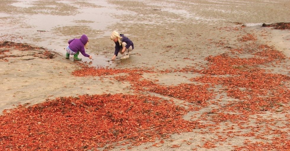 California is being invaded by crabs. Again. Here's why it keeps happening.