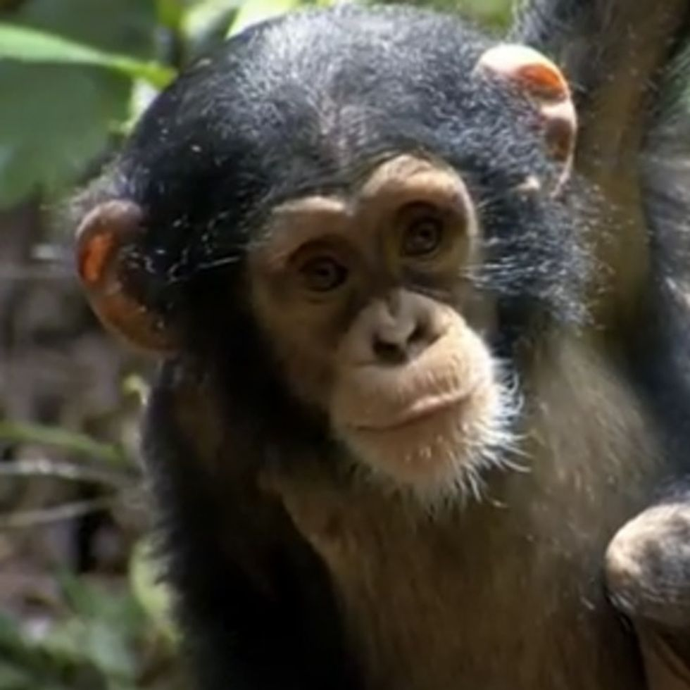 The Most Adorable *Gasp* BABY CHIMPANZEE *Double Gasp* Movie *Faint*