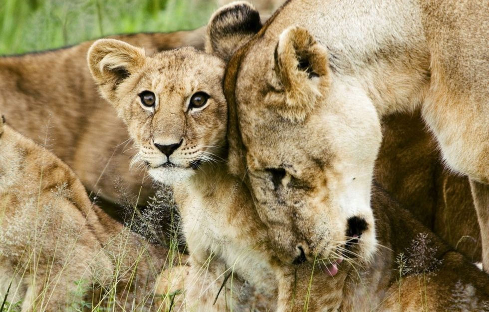 The government says lions are endangered. Here's why that's a good thing.