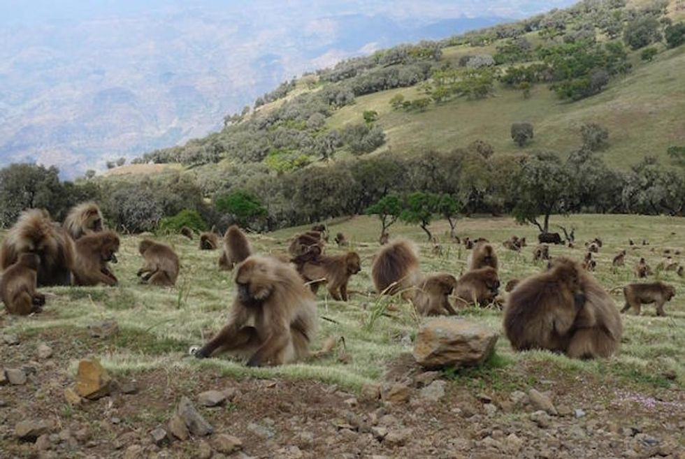 Sure looks like these monkeys are domesticating wild wolves. What's the deal?