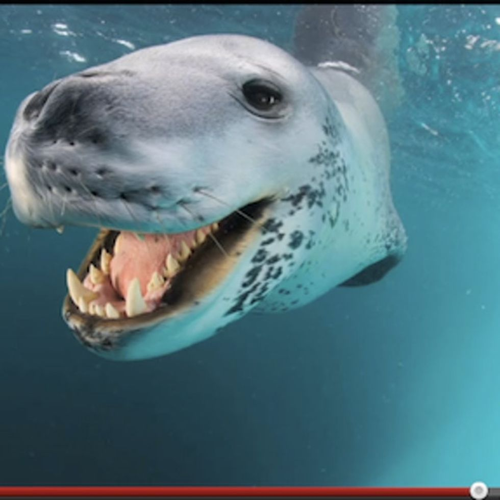 I Hate To Admit It, But This Leopard Seal Is A Nicer Person Than I Am