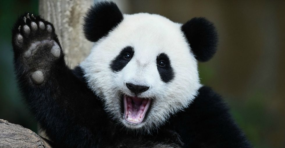 11 panda facts that are really just an excuse to look at some pandas.