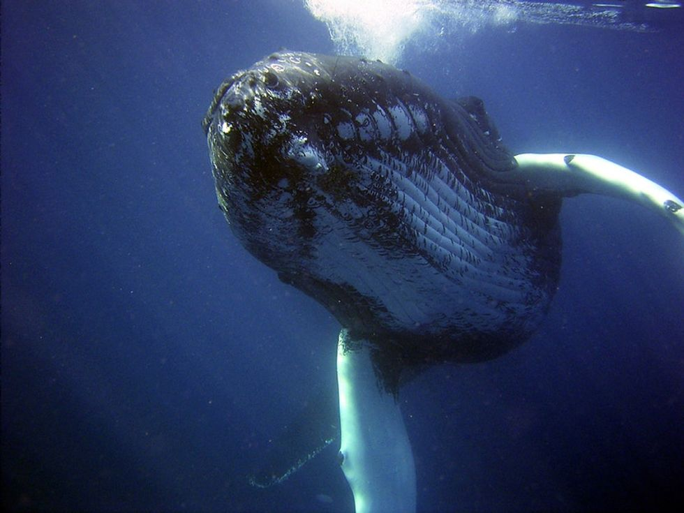 The oldest whales on the planet are more ancient than 'Moby-Dick' and have the harpoons to prove it.