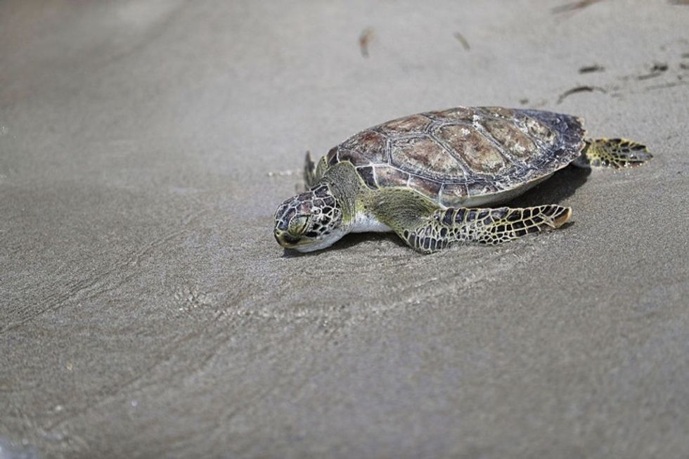 These 5 turtles being helped back into the ocean will make your day.