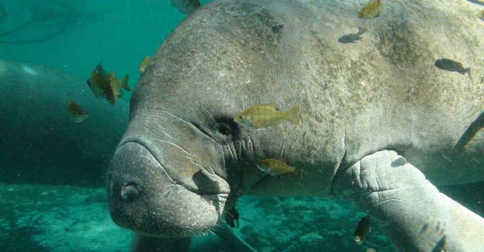 23 manatees feeling their feelings about being removed from the endangered species list.