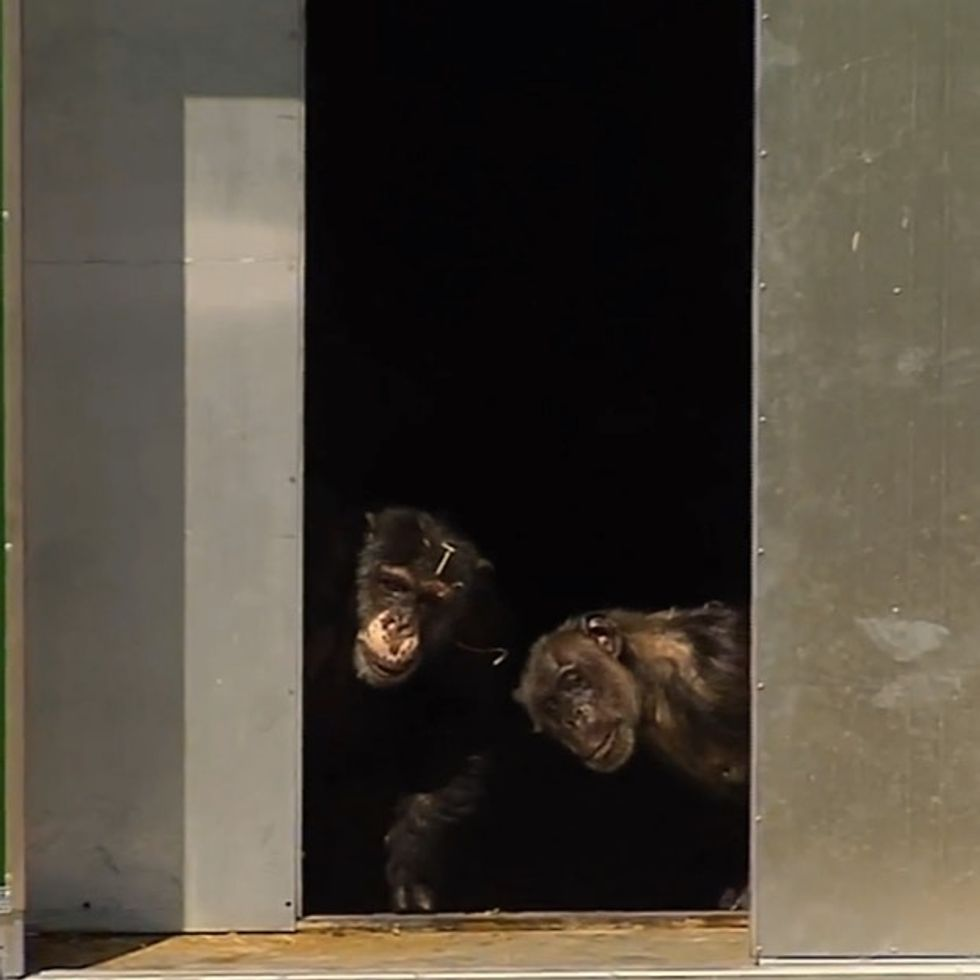 Chimpanzees released after 30 years of testing. Brace yourself for smiles.