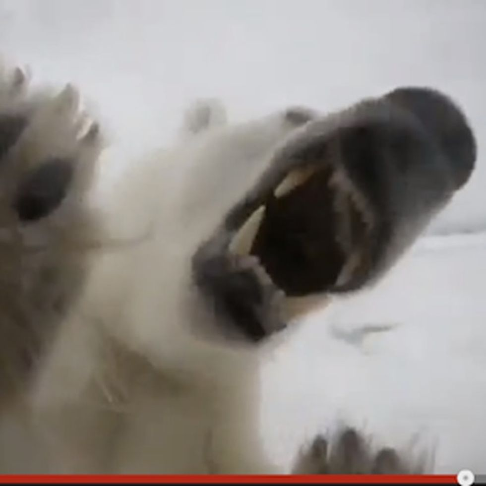 This Is Why Humans Shouldn't Mess With Polar Bears