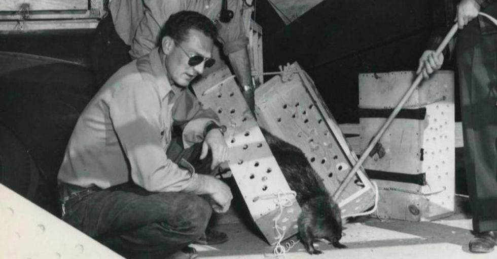 In 1948, Idaho employees dropped beavers from airplanes. On purpose. And it worked.