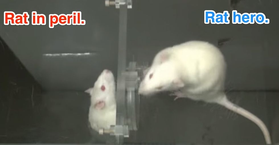 The science of rat empathy and what it tells us about human kindness
