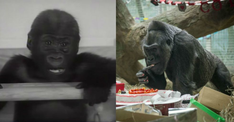 Another year, another epic birthday for Colo, the oldest known gorilla on Earth.