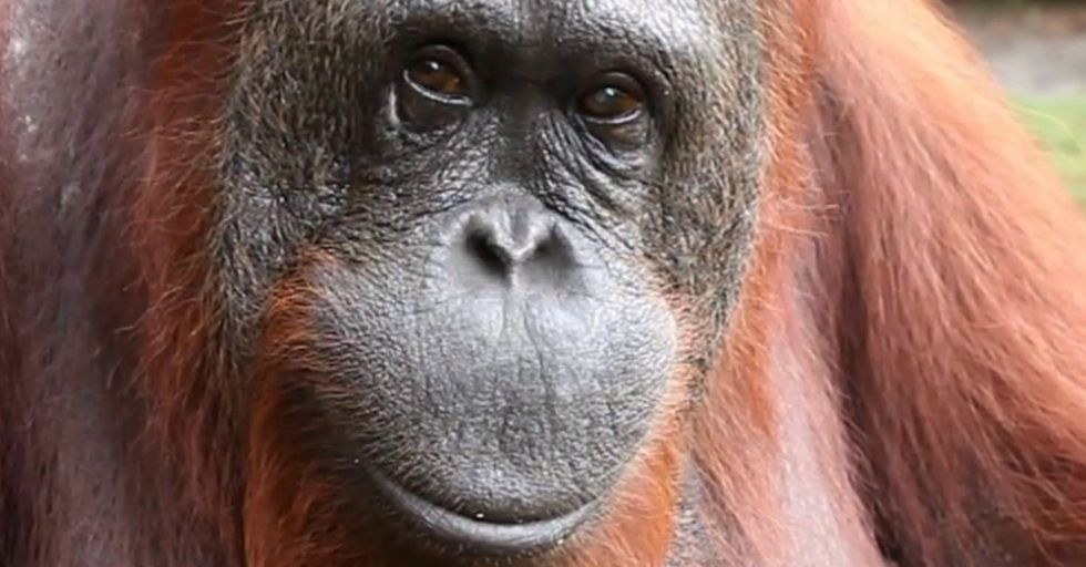 What An Orangutan Says To This Little Girl Is A Message We All Need To Know About