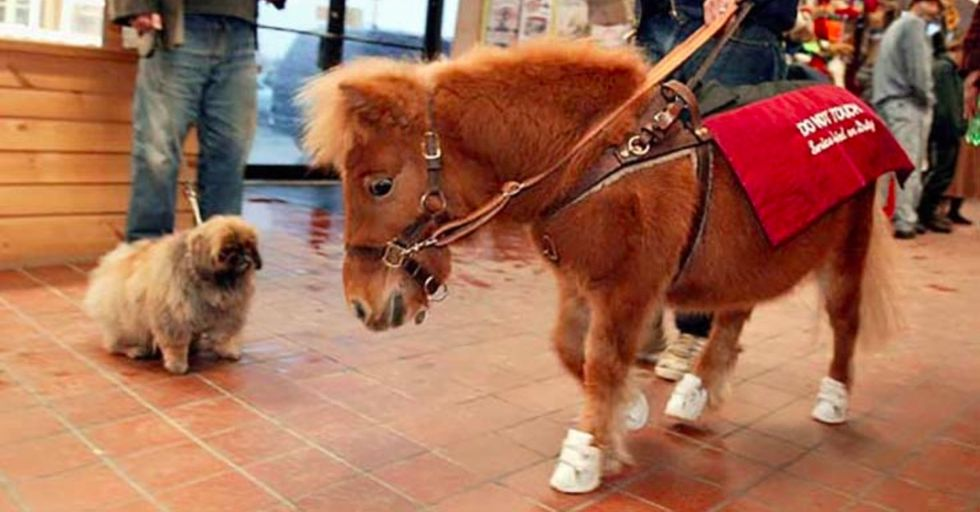 Miniature horses aren't just cute — they can be used as service animals. Meet the mini horse guide.