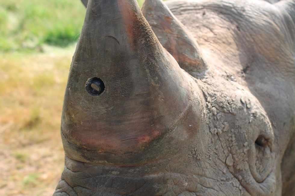 Rhinos are becoming their own security systems with technology to scare away poachers.