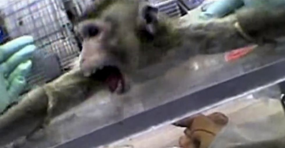 Seeing A Chimpanzee React Much Like I Would Helps Me See Chimps Deserve Rights. Like I Do.