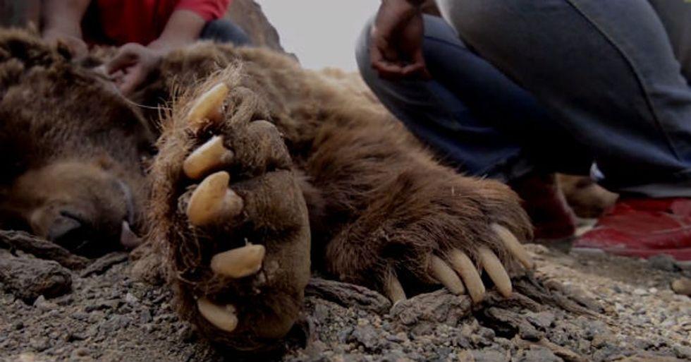 Ever Wonder What The World's Rarest Bear Looks Like? Better Hurry.