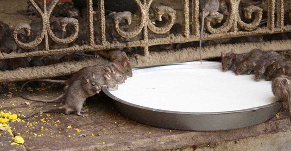 Here's One Of The Best Reasons Not To Hate Rats I've Ever Seen